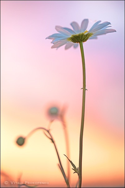 Chamomile at Sunset
