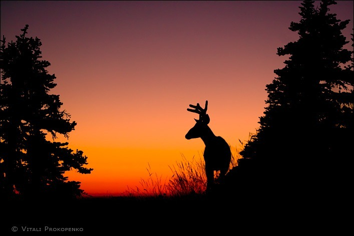 Deer at Hurricane Hill