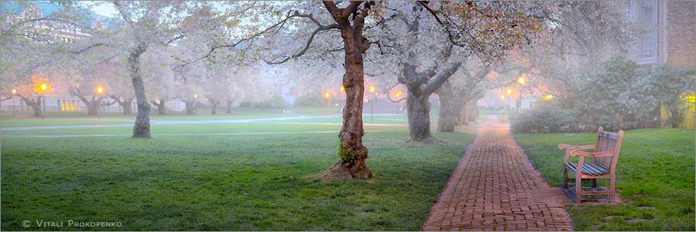 Cherry Blossom at UW
