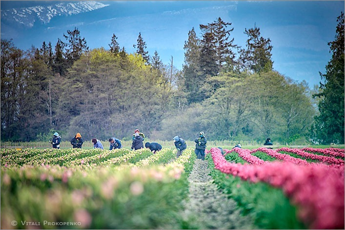 Workers Picking Tulips