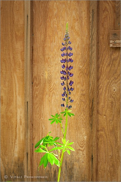 Lupine by a Shed